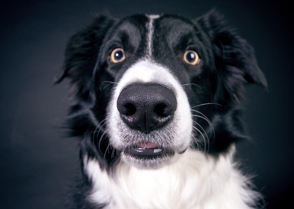 cane cimurro