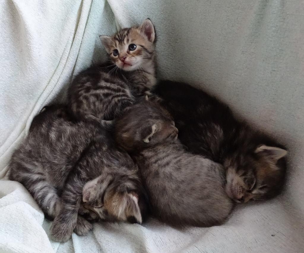 clamidia gattini