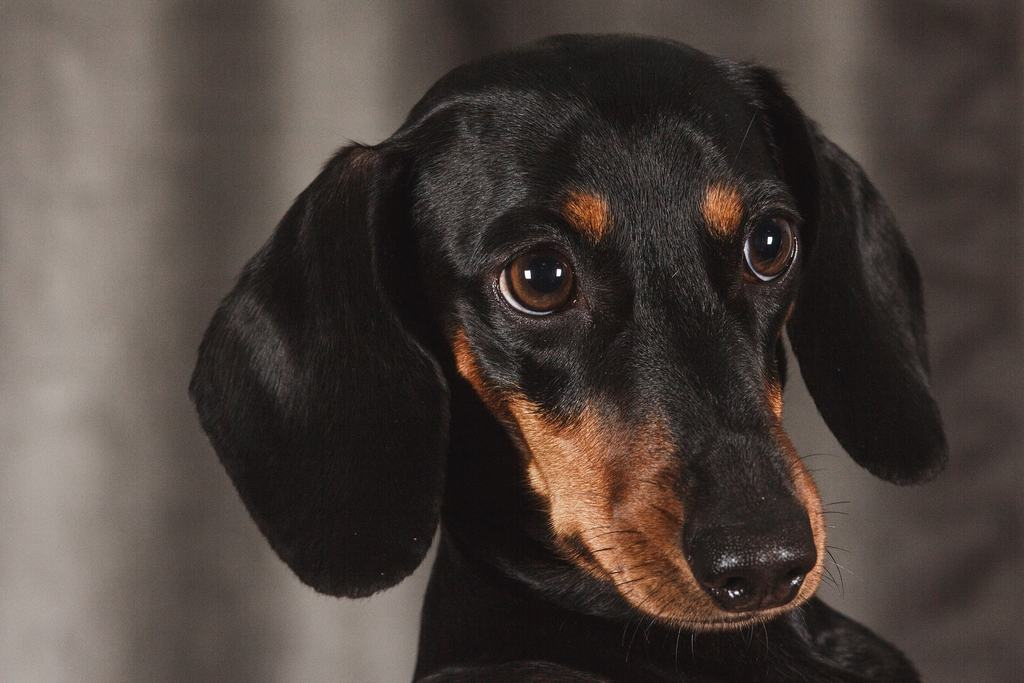 Cani Di Piccola Taglia Ecco Le 10 Razze Più Famose Con Foto Amicovet