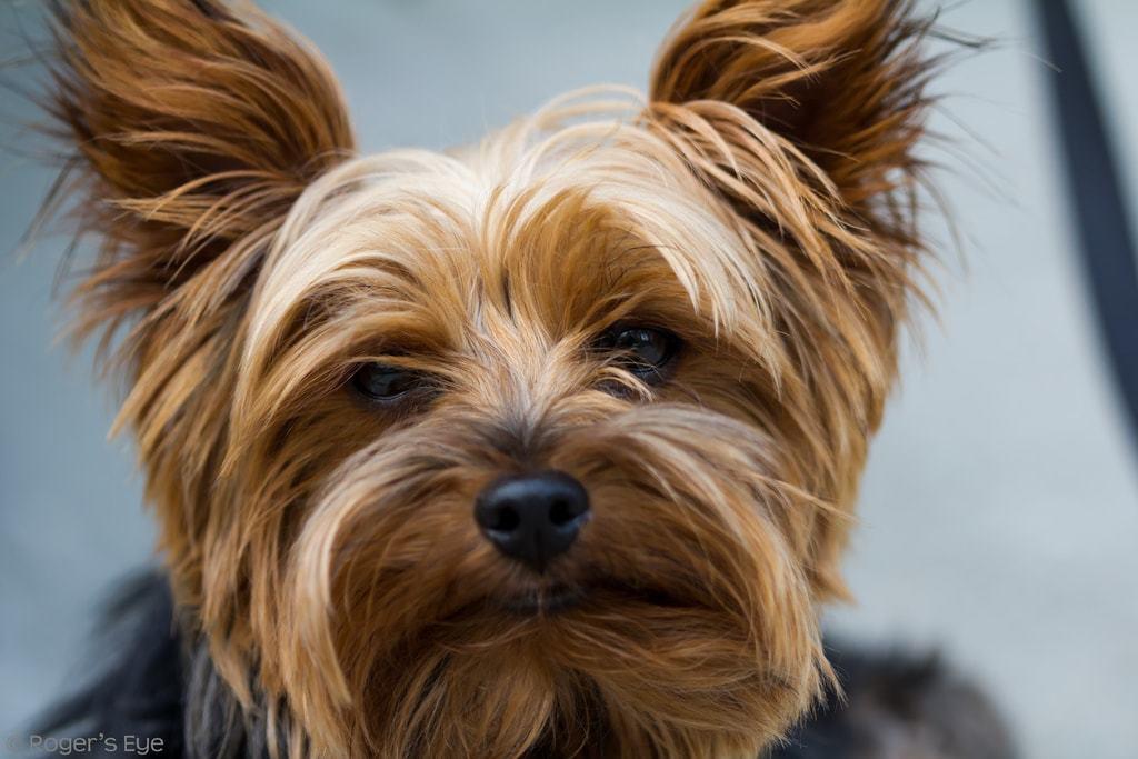 Cani di piccola taglia ecco le razze più famose con foto