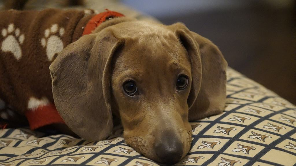 Bassotto carattere un cane di piccola taglia ma non solo for Bassotto cane
