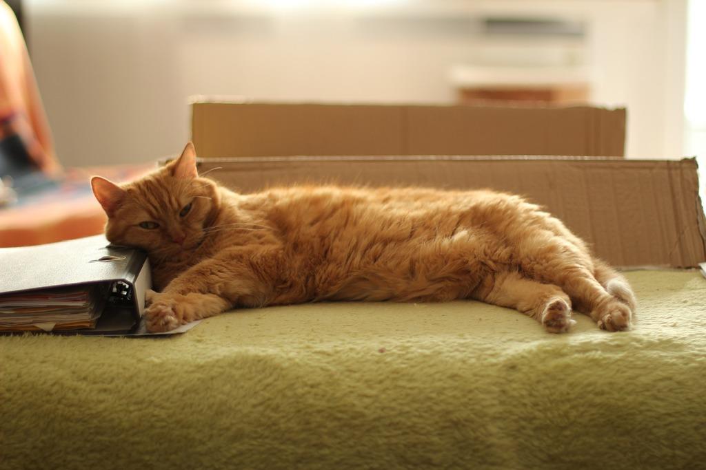 fiv gatto