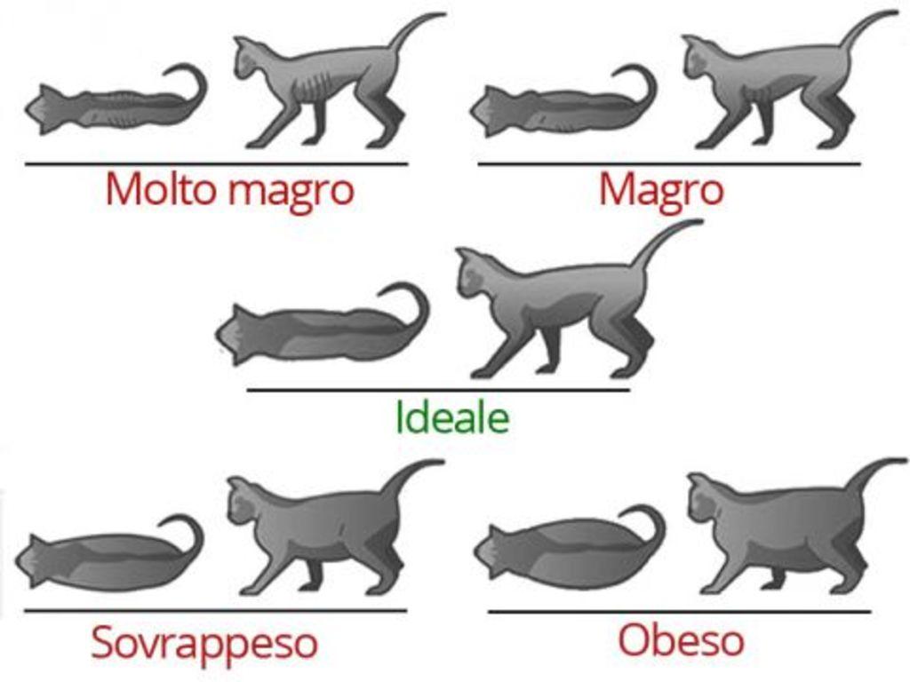 gatto ciccione