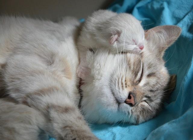gravidanza gatti