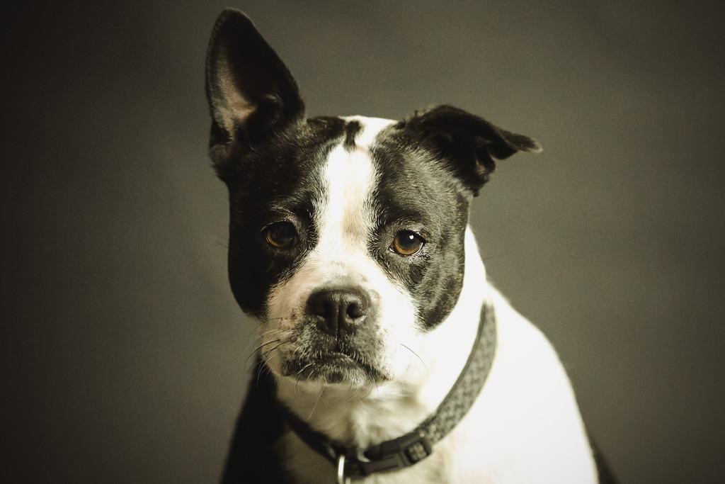 cane sterilizzato ingrossato della prostata