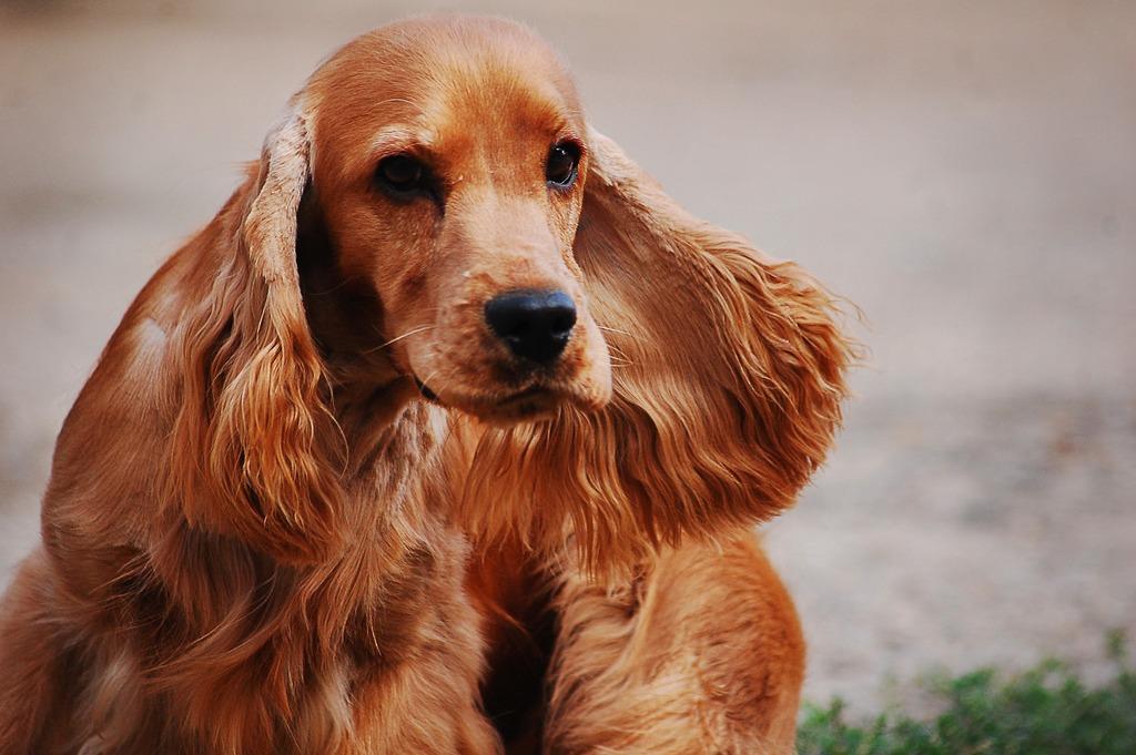 Cocker spaniel inglese: un perfetto cane da appartamento amicovet