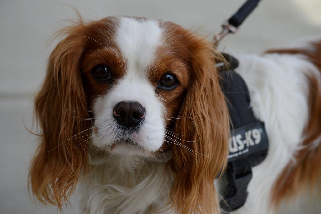 Cavalier king: un perfetto cane da appartamento