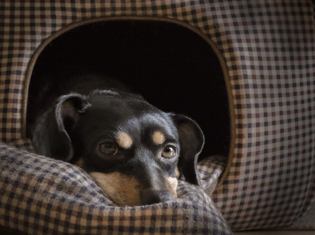 diarrea cane