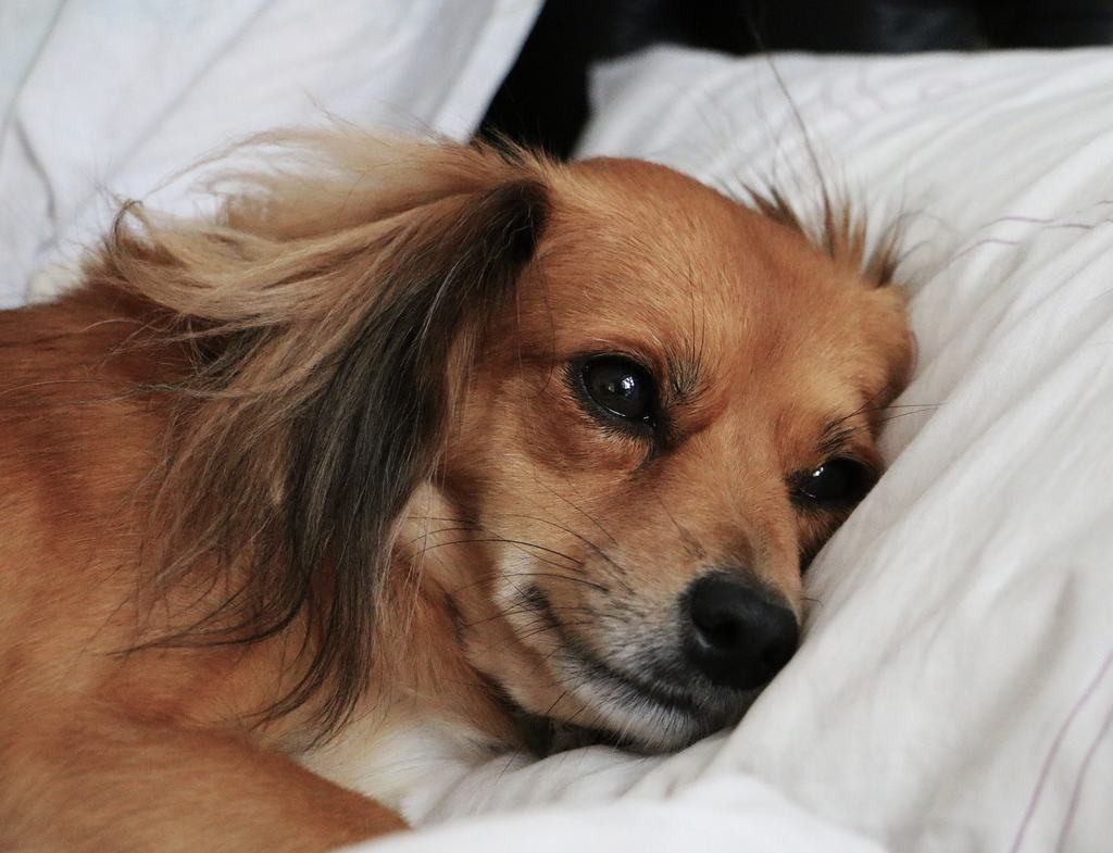 febbre cane