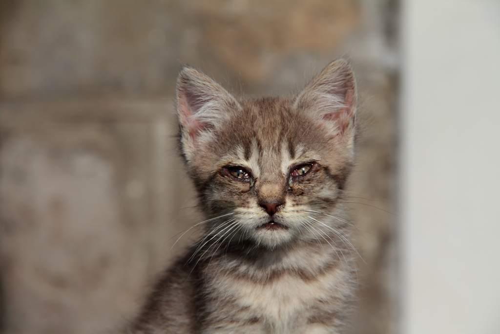 congiuntivite gatto