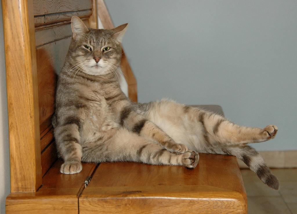 gatto pancia gonfia