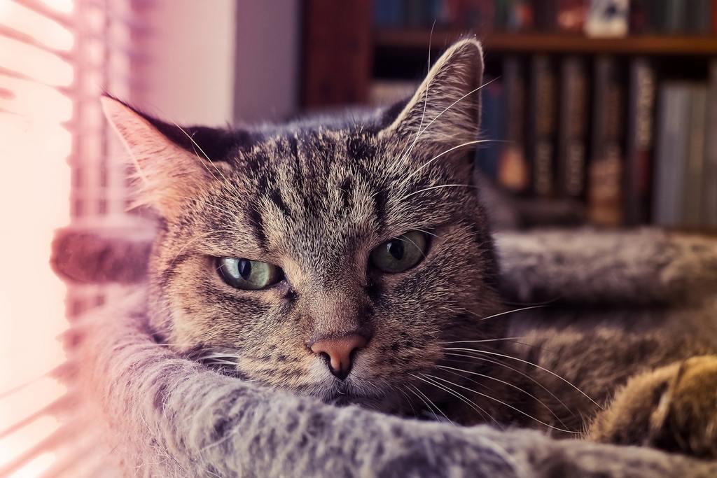 gatto starnutisce