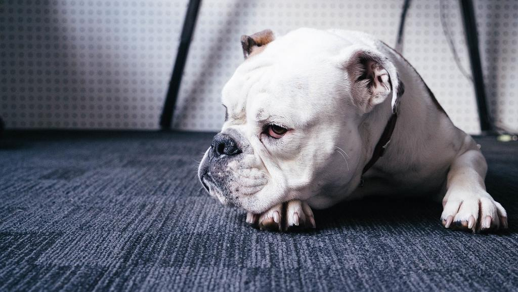 singhiozzo cane