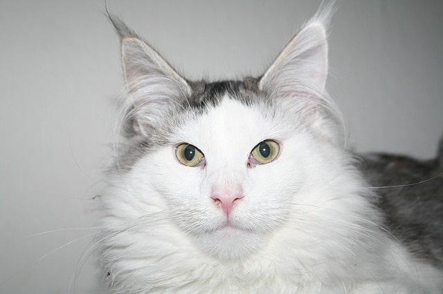 febbre gatto