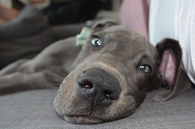starnuto inverso cane