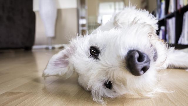 soffietto al cuore nel cane