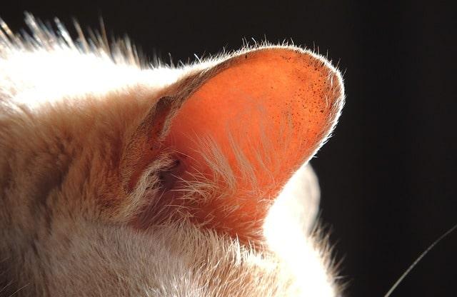 orecchie calde gatto