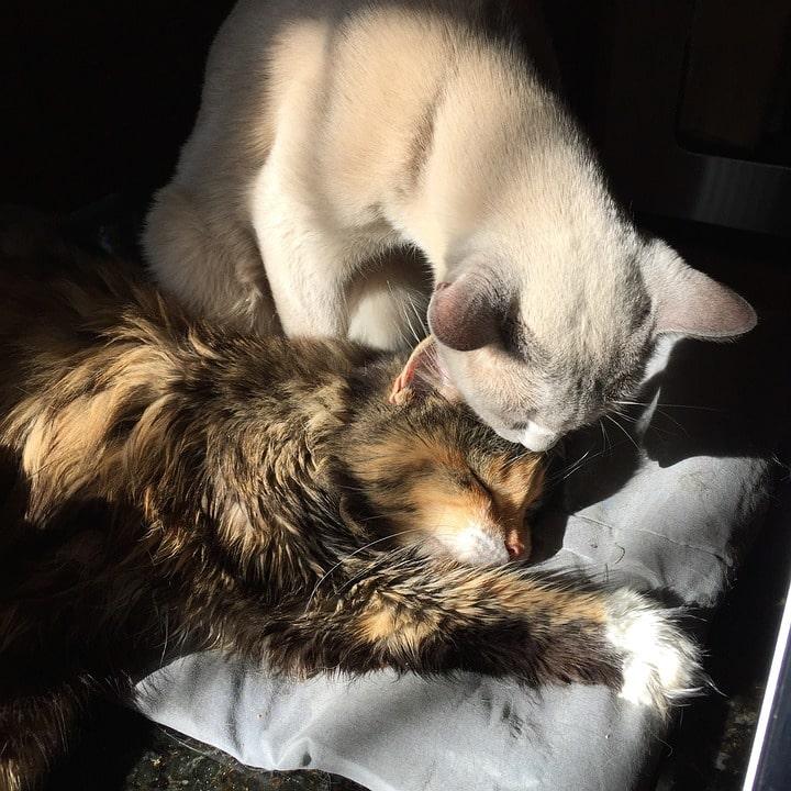 gatto in calore