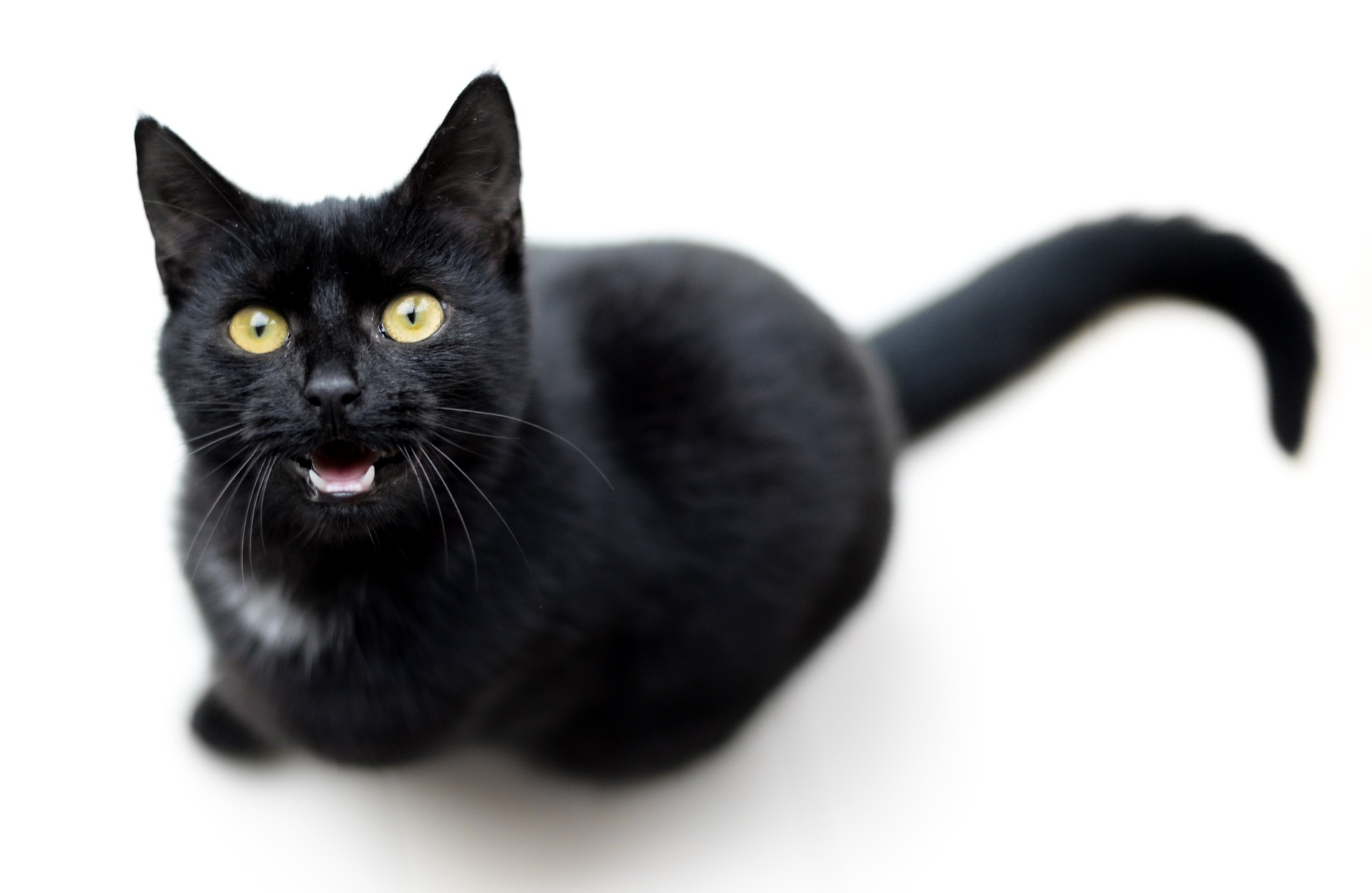 gatto miagola sempre