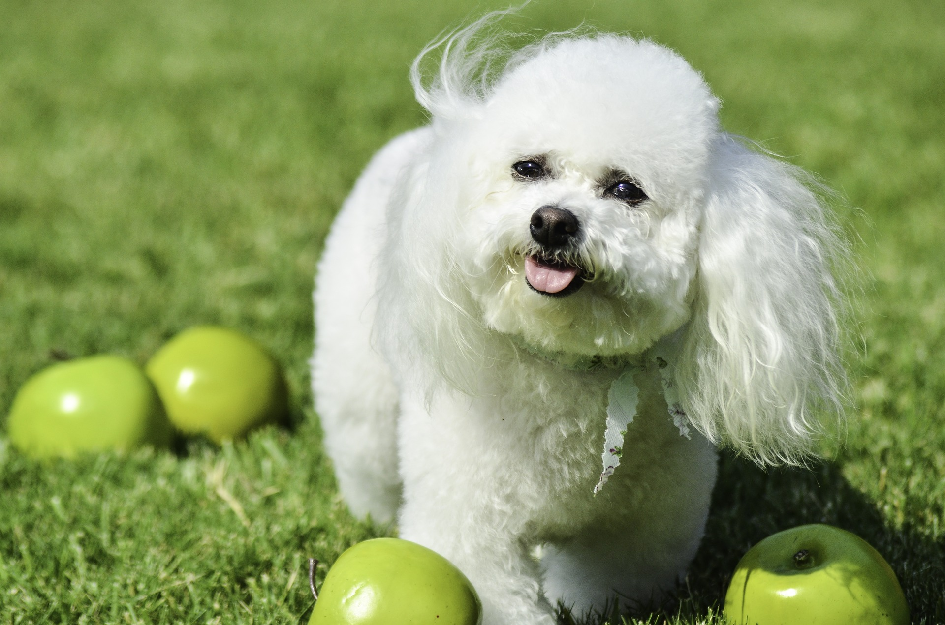 i cani possono mangiare le mele
