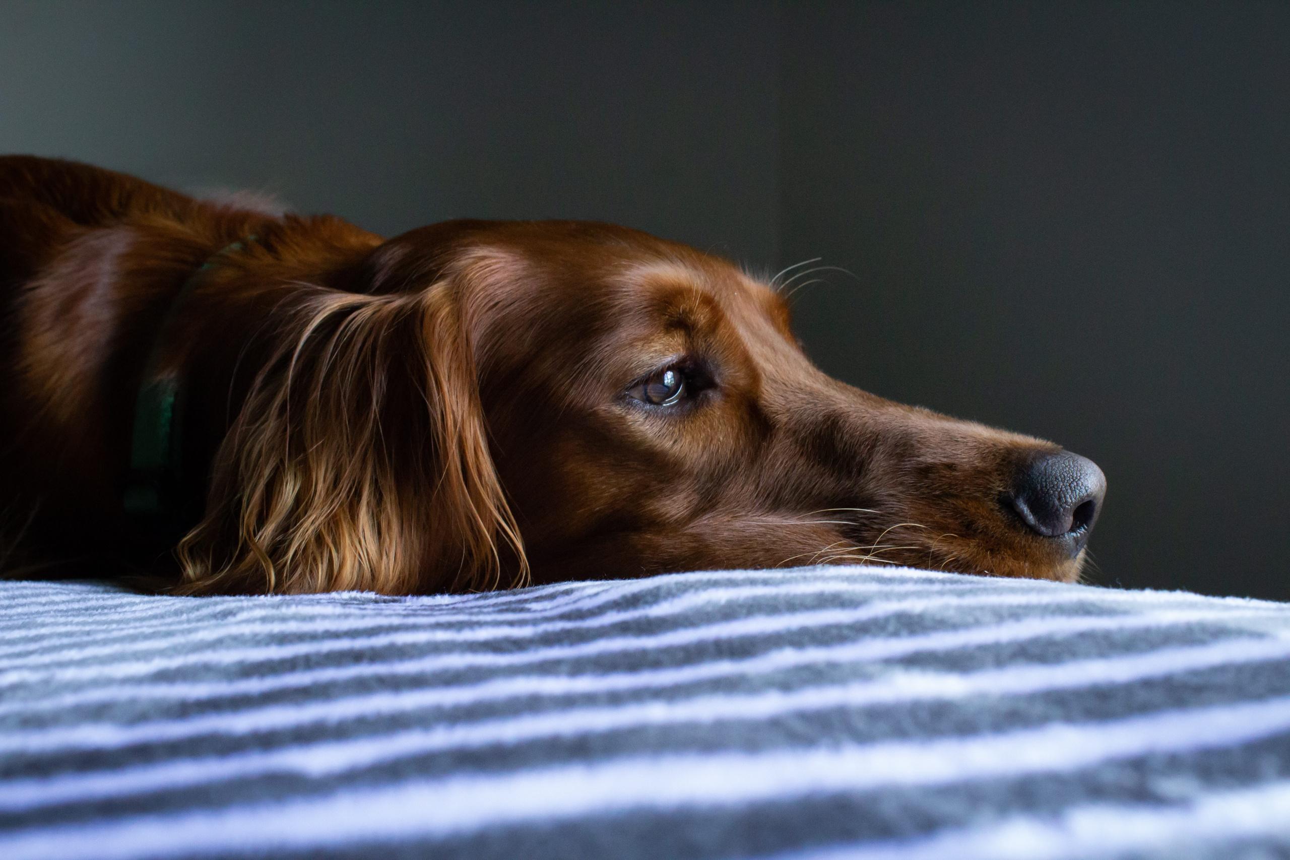 giardia cane