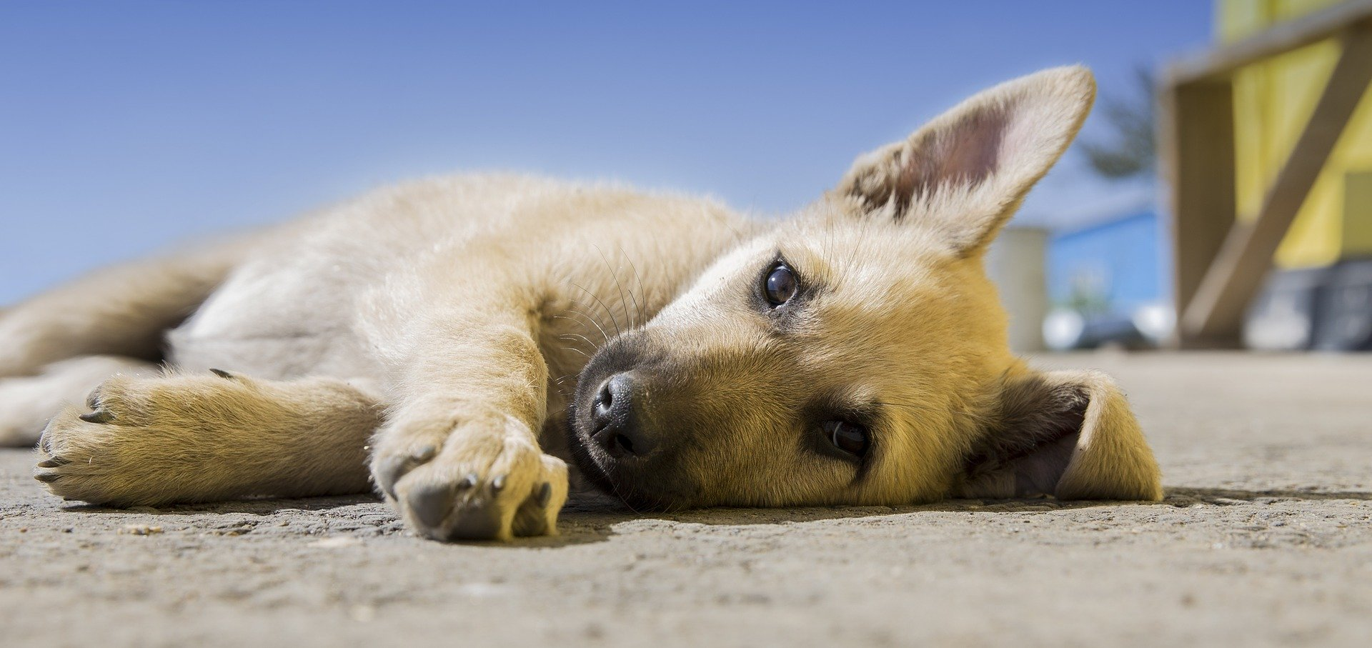 coccidiosi cane