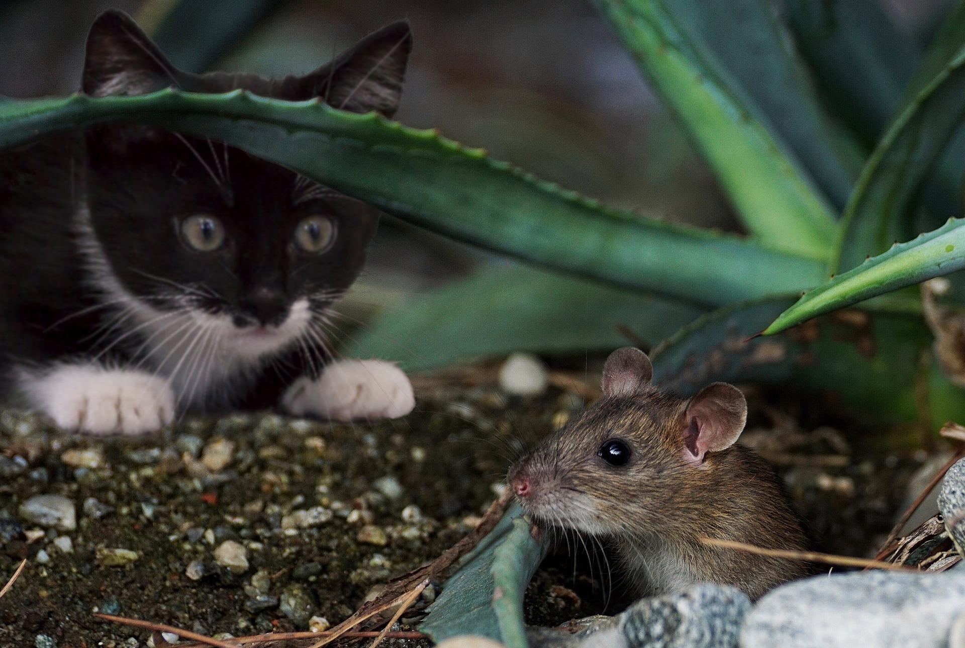 un gatto caccia un topo che potrebbe causargli toxoplasmosi gatto