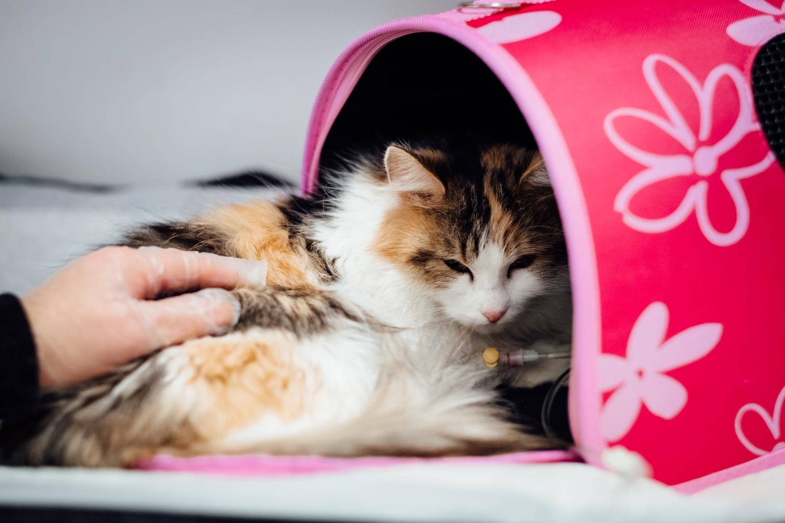 cardiomiopatia ipertrofica gatto
