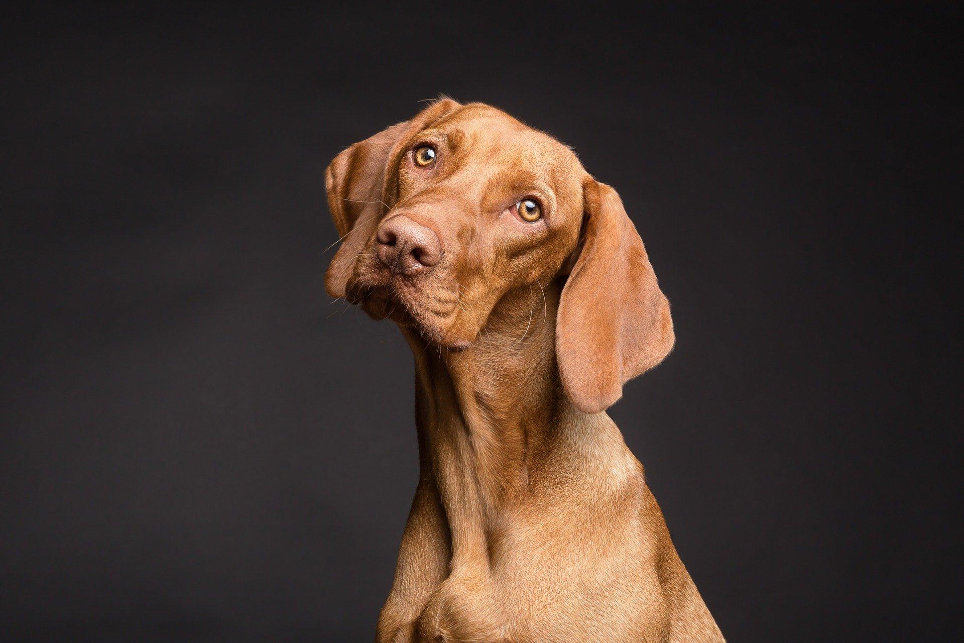 ehrlichiosi canina