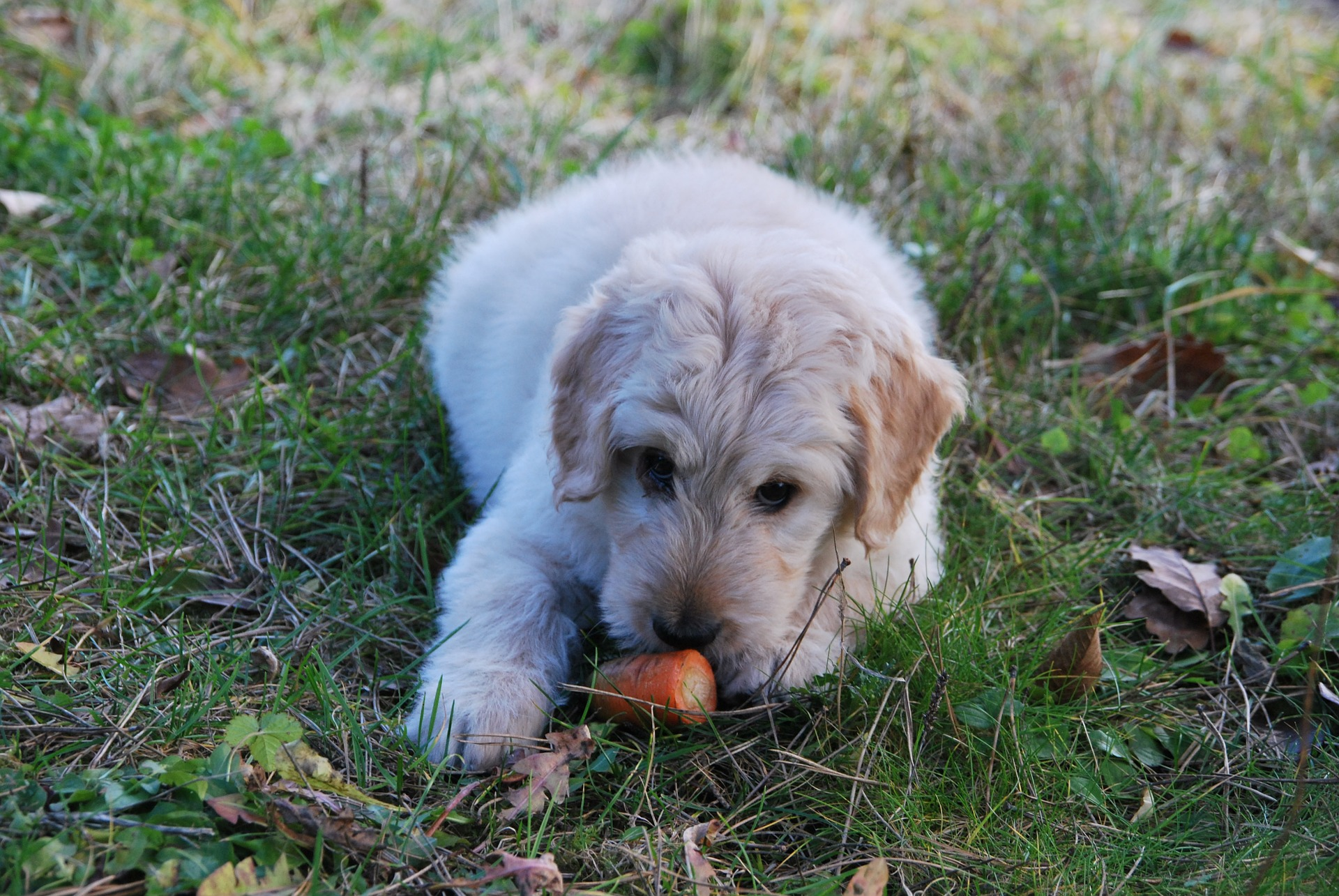 i cani possono mangiare le carote