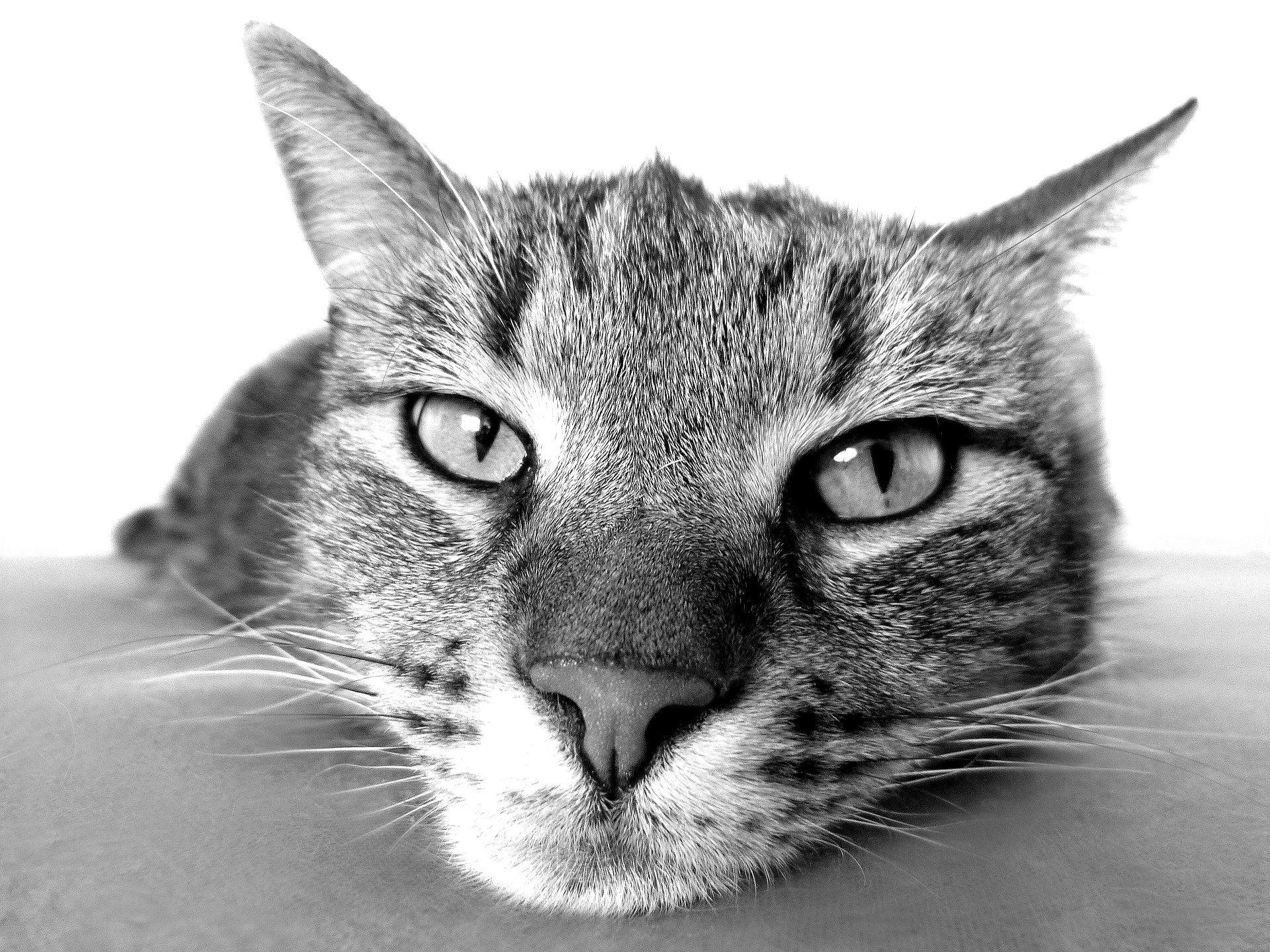 filariosi nel gatto