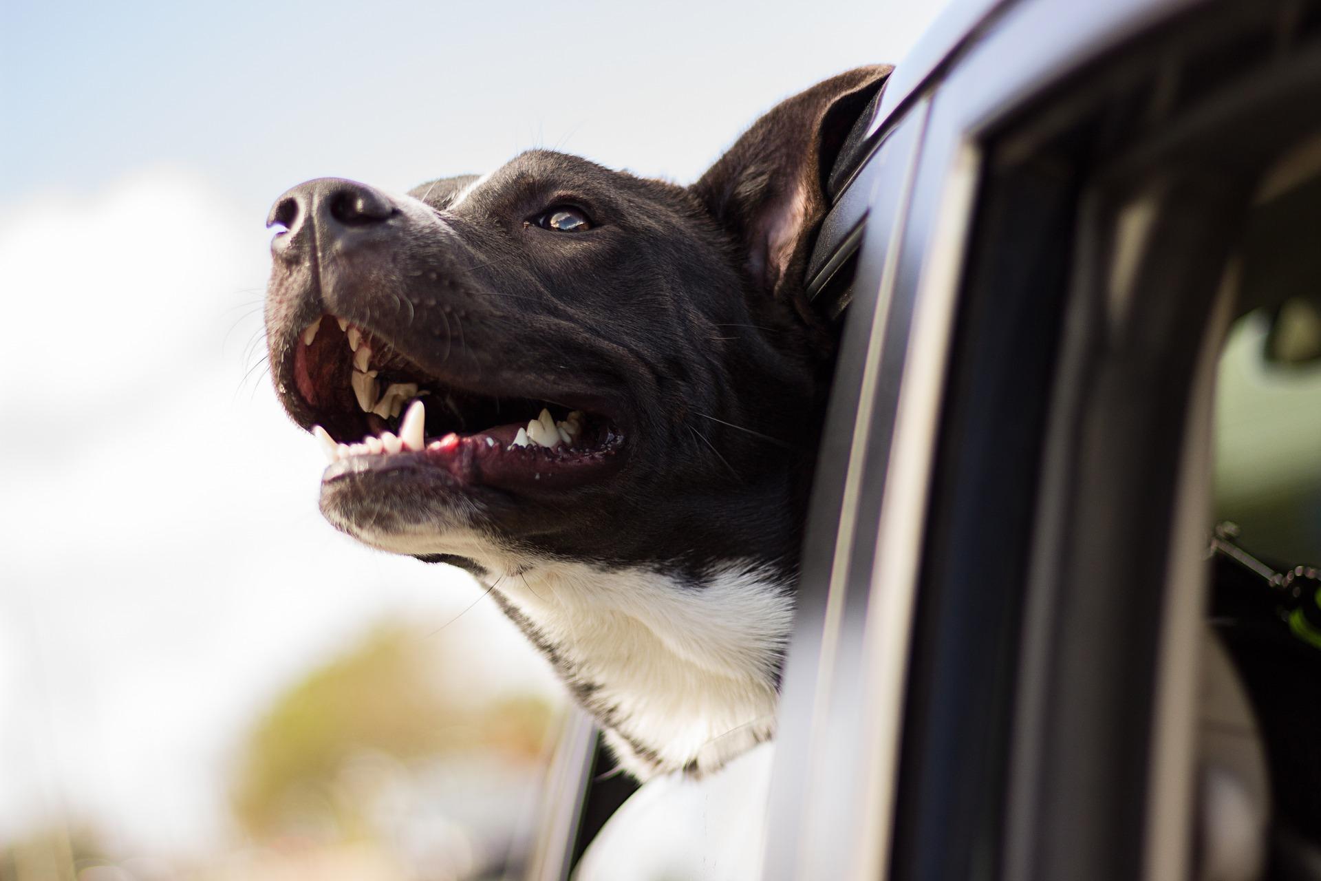malattia di addison nei cani