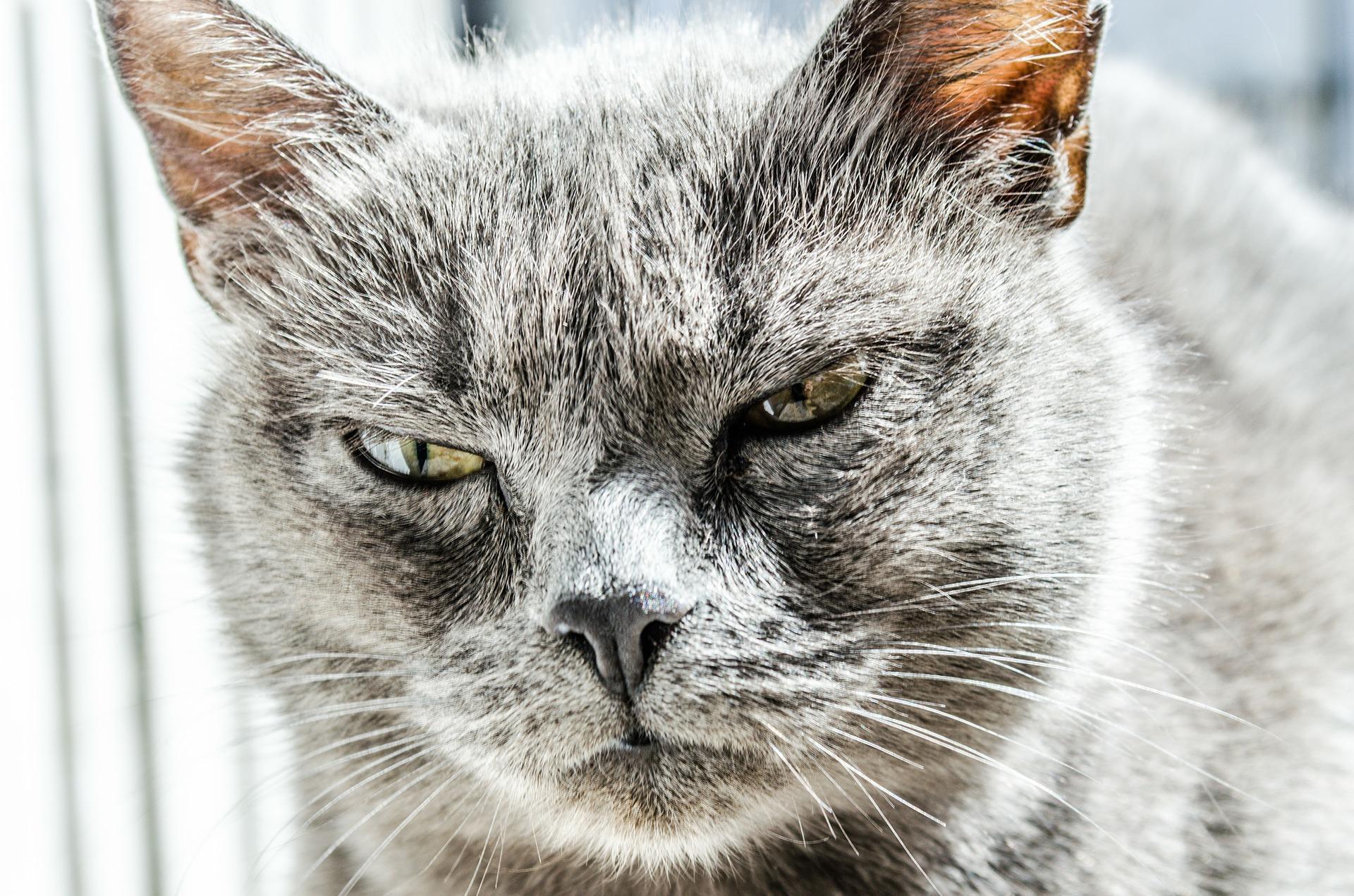 influenza felina