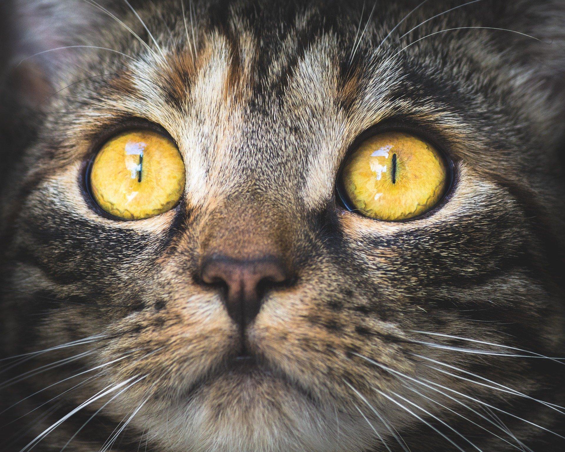 entropion gatto
