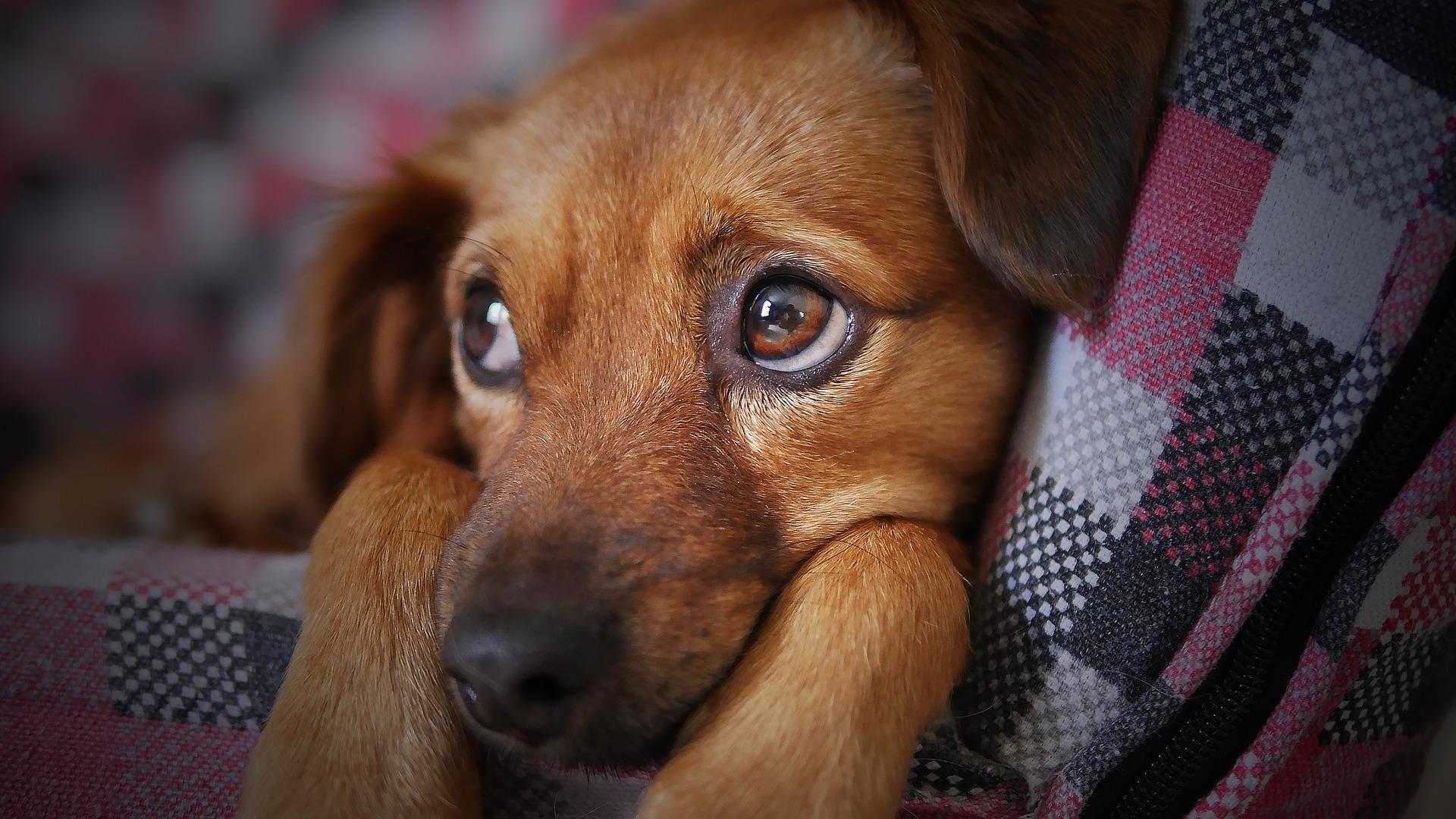 tumore al fegato cane