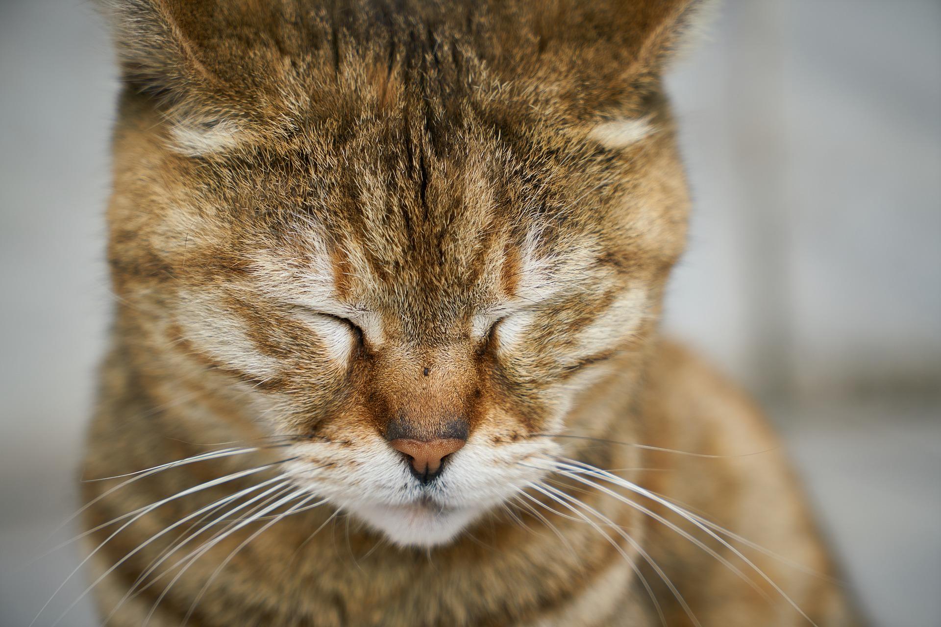 malattia di addison gatto