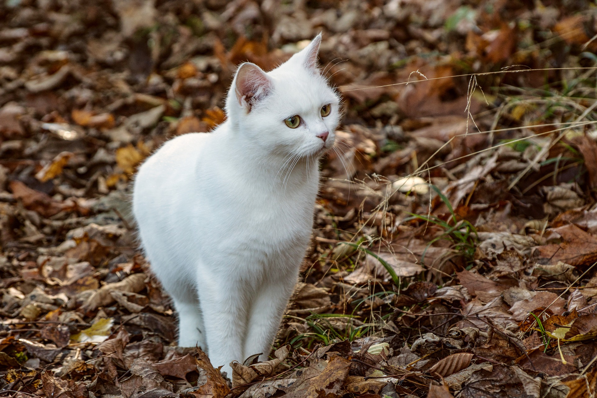 leptospirosi gatto