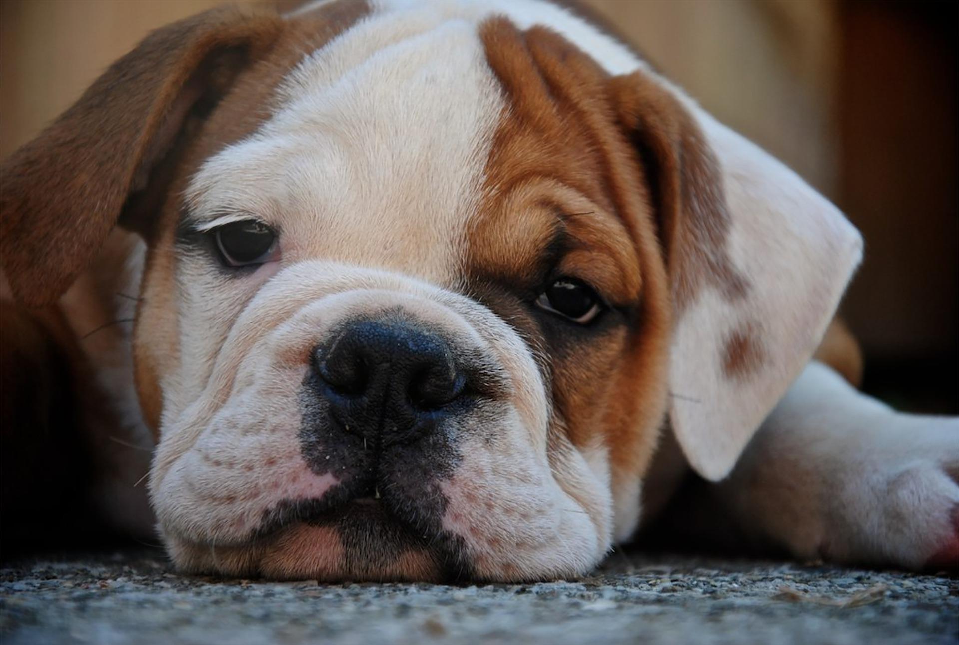malattia di lyme cane