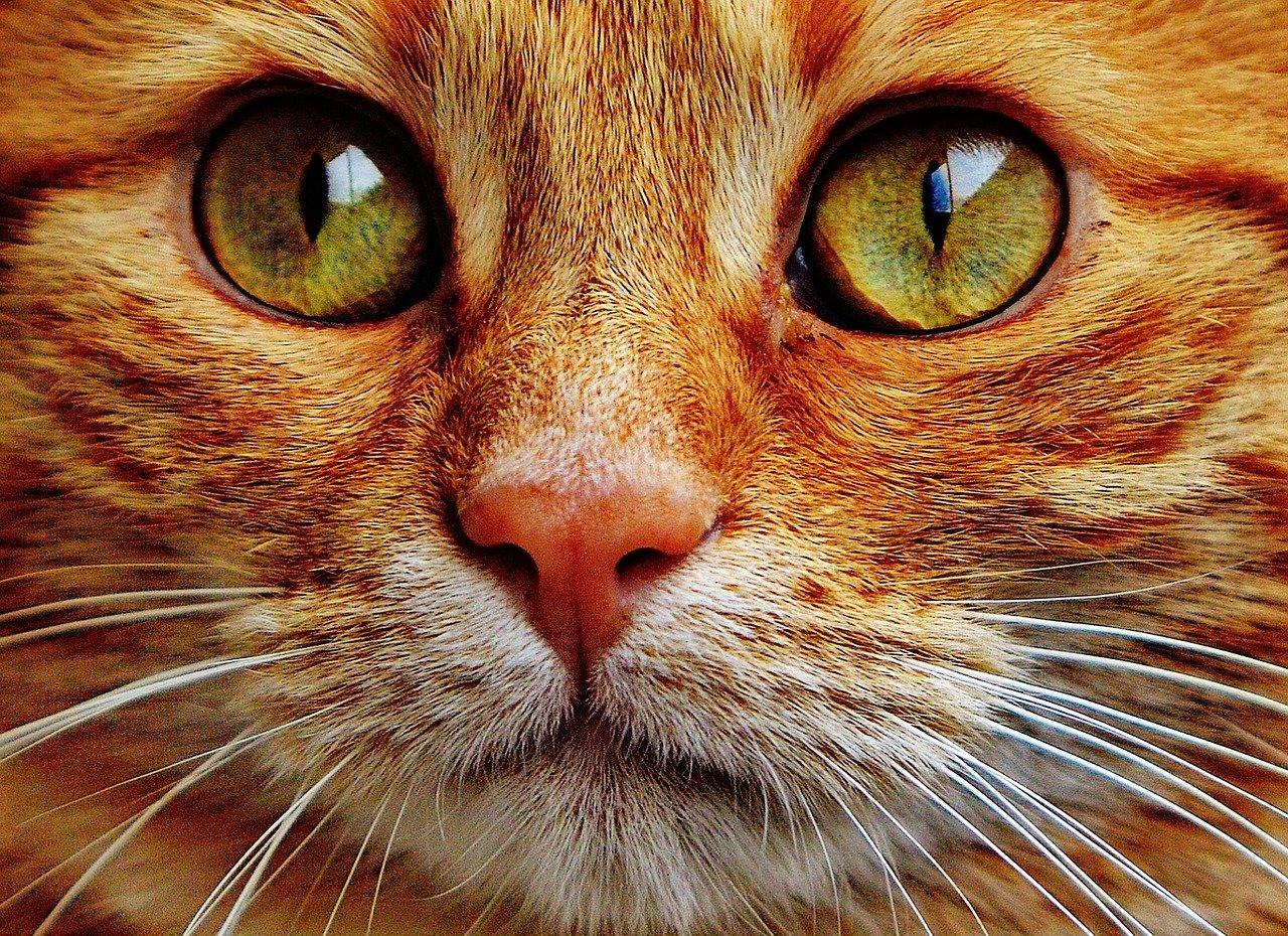 cataratta gatto