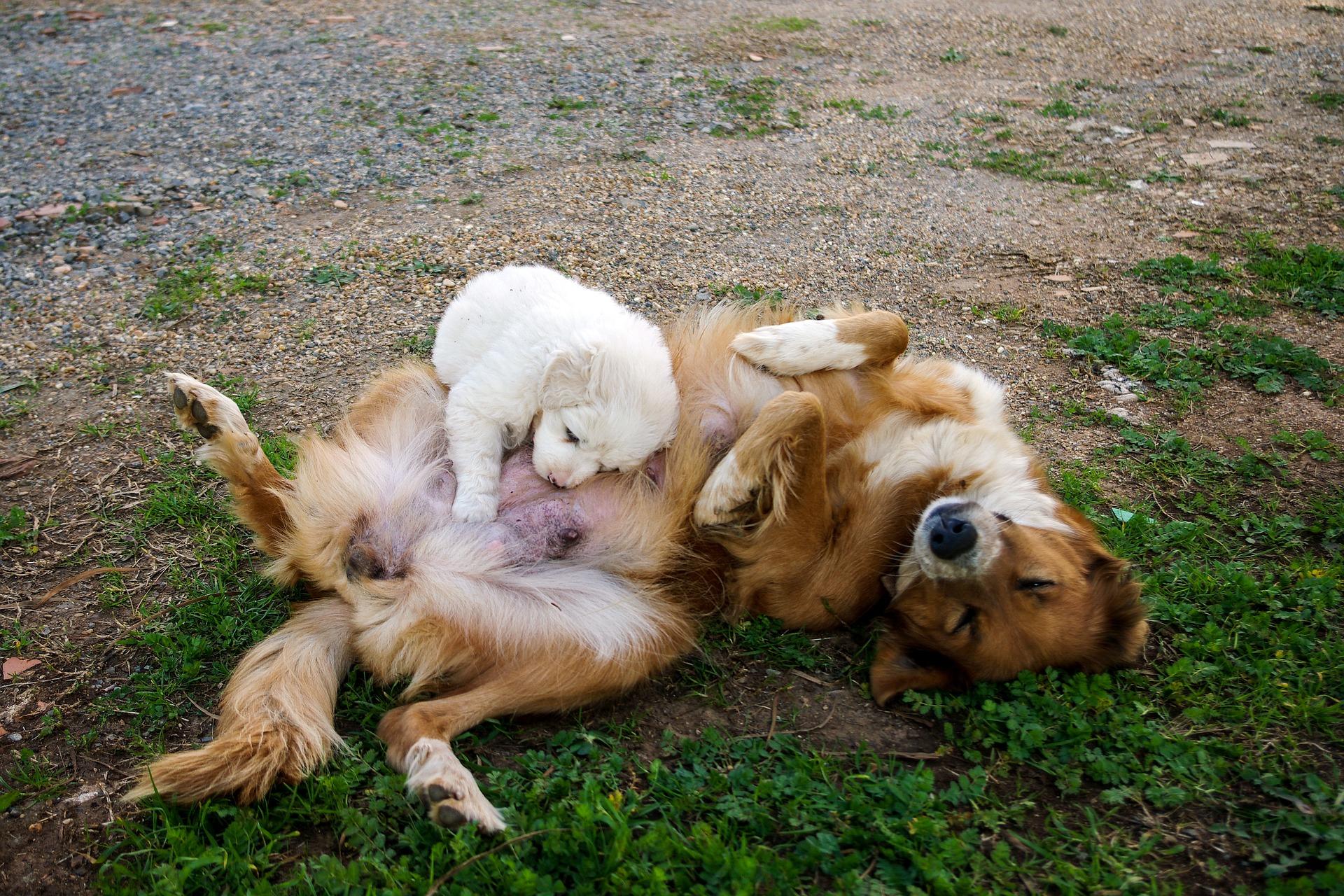 Aborto spontaneo nel cane