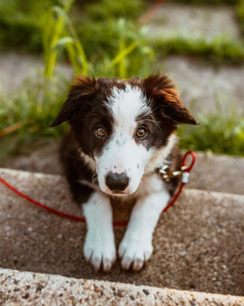 anaplasmosi cane