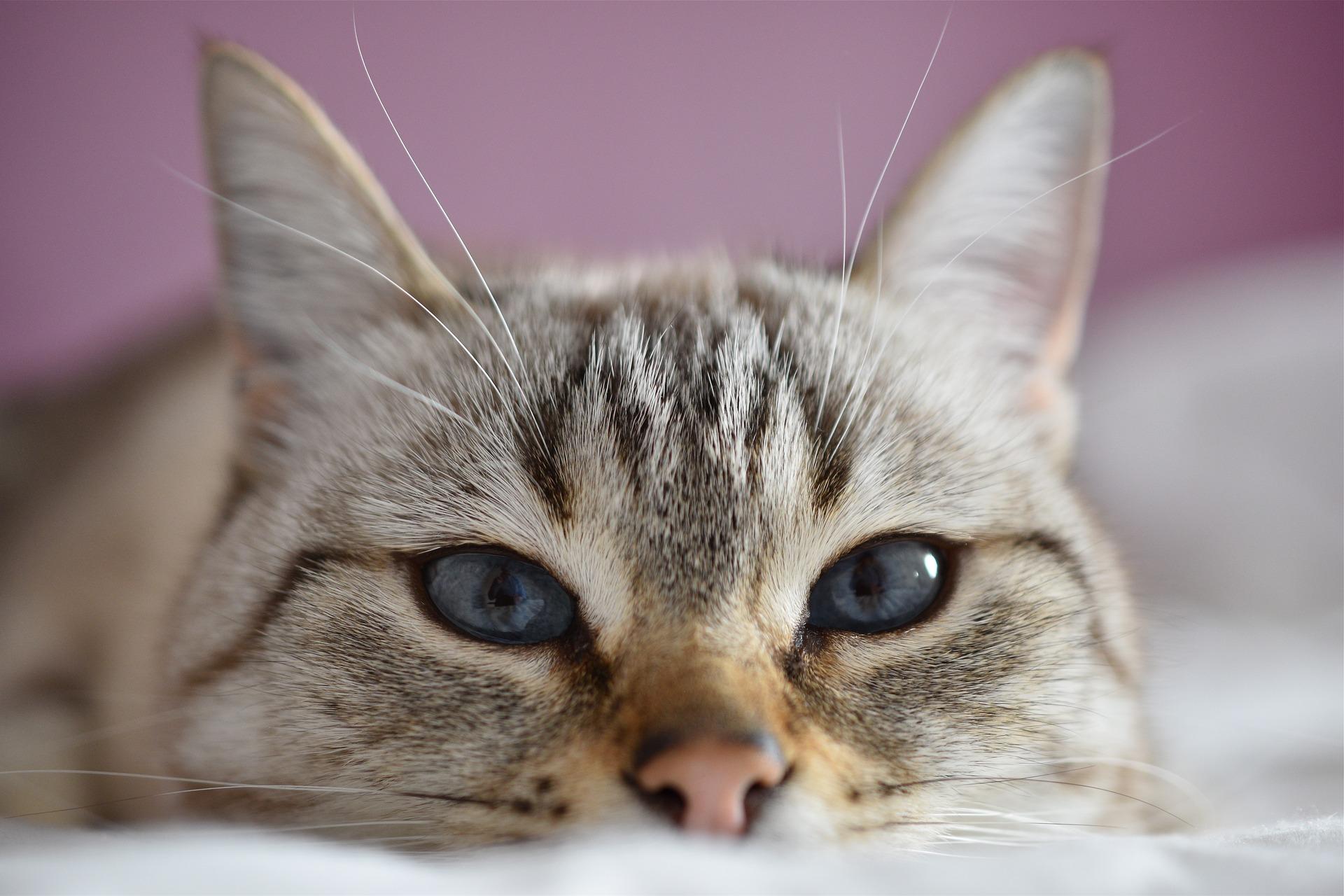 Malattia di cushing gatto